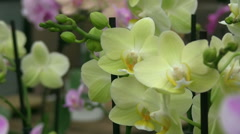 yellow and pink orchids - stock footage