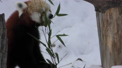 Red Panda Feeding on Bamboo in Winter Snow Stock Footage