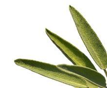 Leaves sage tea Stock Photos