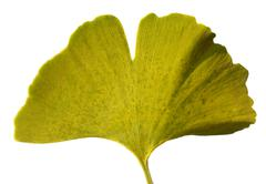 Leaf Ginkgo Biloba - stock photo