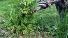 Woman harvests coriander in an organic veggie herb garden, medium shot - stock footage
