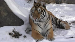 Siberian Tiger in Snow Yawning or Roaring Showing Teeth and Mouth Stock Footage
