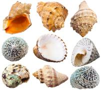 Stock Photo of set of spiral shells of sea mollusc snails