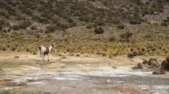 Llamas in Land of Altiplano Stock Footage