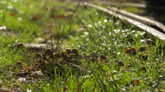 Close view of mushrooms grown on grass near the Mocanita railway Stock Footage