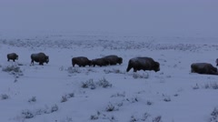Yellowstone Bison Herd Walking Dark Dreary Cold Winter Day Stock Footage