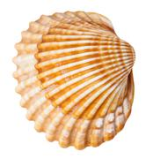 Clam mollusk shell isolated on white Stock Photos