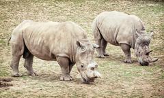 White rhinoceros (Ceratotherium simum simum), two animals Stock Photos