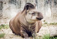 South American tapir (Tapirus terrestris), animal scene Stock Photos