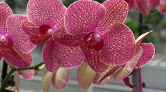 pink orchids - stock footage