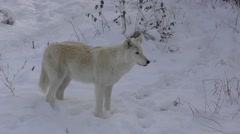 White Wolf in Snow Filmed in 4K Stock Footage
