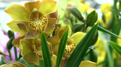 yellow orchids - stock footage