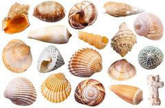 set of different mollusk shells isolated on white - stock photo