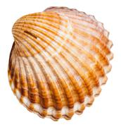 Bivalvia mollusk shell isolated on white Stock Photos