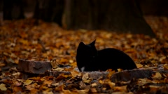 Black cat snoozing on autumn leaves Stock Footage