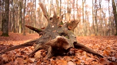 Beautiful tree stump in the autumn forest, nature background Stock Footage