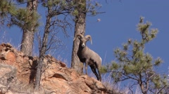 Rocky Mountain Bighorn Sheep Ram on Clifftop Blue Sky Stock Footage