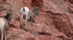 Bighorn Sheep on Steep Rocky Ledge Rocks Falling from Feet Stock Footage