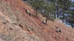 Bighorn Sheep Ram and Ewe Walking Along Steep Slope Stock Footage