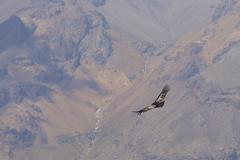 Andean Condor Stock Photos