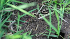 Red earth worm crawls in organic garden soil, close up Stock Footage