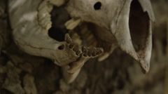 Long Horned Skull Close Up Stock Footage