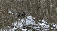The Black Bird With a Yellow Beak in The Bushes Stock Footage