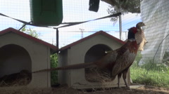 Two small Pheasants observing in their cages Stock Footage