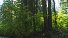 Tall tree trunks rising above sunny undergrowth in an Oregon stream-side forest Stock Footage