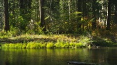 Tall tree trunks on a grassy bank along a forest stream, Oregon Stock Footage