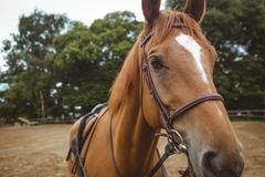 Thorough breed horse looking at camera Stock Photos