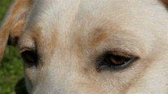The eyes of the Labrador dog - stock footage
