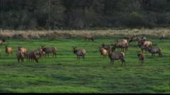 A herd of elk in a green meadow Stock Footage