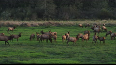 A herd of elk in a green meadow Stock Footage