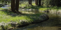 Mountain stream flowing around grassy bend edged with conifers - stock footage
