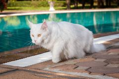 white maine coon cat female goes to the left - stock photo