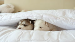 Siberian husky puppies lying on white bed under white blanket Stock Footage
