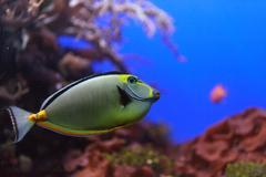 Naso Tang fish Stock Photos