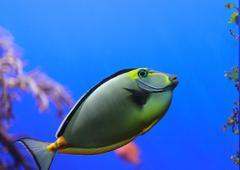 Naso Tang fish - stock photo