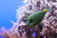 Naso Tang fish - stock photo