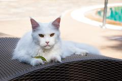 white maine coon cat female lays on sun bed nearby swimming pool - stock photo