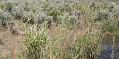 Close view of sagebrush, willows, and wildflowers along  high desert stream Stock Footage
