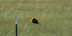 Yellow-headed Blackbird on fence facing strong wind Stock Footage