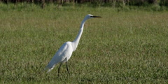 Great Egret in breeding plumage stalking through grassy meadow Stock Footage