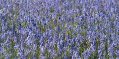 Frame-filling meadow of breeze-stirred blue camas in bloom - stock footage