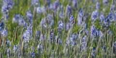 Prairie grasses and blue camas blossoms swaying in a breeze Stock Footage