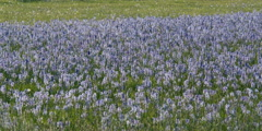 Field of blue camas with soft focus insects fluttering above - stock footage