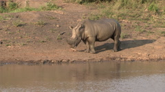 Wet and muddy white rhino walking next to waters edge. Stock Footage