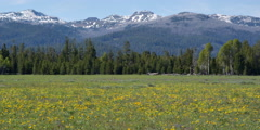 Wildflower meadow with forest and snow-patched mountains in background - stock footage