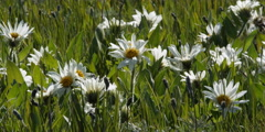 Close-up of wild daisies Stock Footage